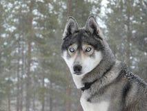 Cão do cão de puxar trenós dos olhos azuis Fotos de Stock Royalty Free