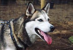 Cão do cão de puxar trenós Siberian fotografia de stock