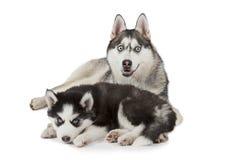 Cão do cão de puxar trenós Siberian com cachorrinho Foto de Stock