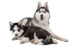 Cão do cão de puxar trenós Siberian do puro-sangue com cachorrinho Imagens de Stock Royalty Free