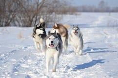 Cão do cão de puxar trenós Siberian que corre na câmera de três outro Fotos de Stock Royalty Free