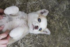 Cão do cão de puxar trenós Siberian que encontra-se para baixo com mãos dos woman's fotografia de stock
