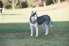 Cão do cão de puxar trenós Siberian que olha forte Imagens de Stock