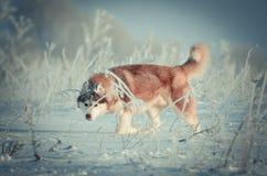 Cão do cão de puxar trenós Siberian vermelho e branco em um retrato da armadilha no prado da neve Imagem de Stock Royalty Free
