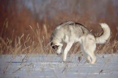 Cão do cão de puxar trenós Siberian vermelho e branco que caça um rato no campo do prado da neve Fotografia de Stock Royalty Free