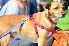 Cão do cabelo de Brown na trela no parque Imagens de Stock Royalty Free
