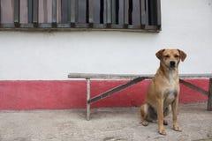 Cão do campo Imagens de Stock Royalty Free