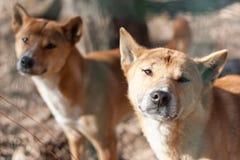 Cão do canto de Nova Guiné Fotos de Stock Royalty Free