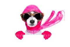 Cão do chique da diva foto de stock royalty free