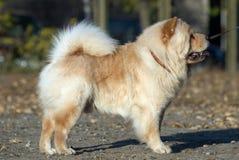 Cão do Chow-chow Imagem de Stock
