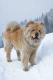 Cão do Chow-chow Fotografia de Stock Royalty Free