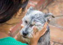 Cão do cinza das trocas de carícias da jovem mulher Foto de Stock Royalty Free