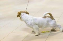 Cão do close-up do terrier imagens de stock royalty free