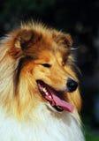 Cão do Collie Imagens de Stock Royalty Free
