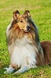 Cão do Collie Foto de Stock Royalty Free