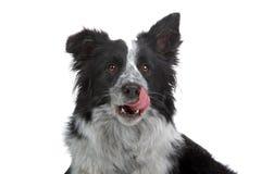 Cão do Collie de beira Fotografia de Stock Royalty Free