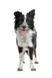 Cão do Collie de beira Fotografia de Stock