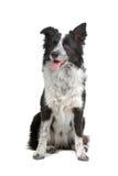 Cão do Collie de beira Foto de Stock Royalty Free