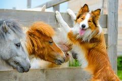 Cão do Collie do pônei e de beira, datando Imagem de Stock Royalty Free