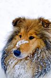 Cão do Collie na neve Fotos de Stock Royalty Free
