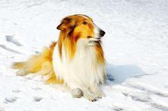 Cão do Collie na neve Fotografia de Stock Royalty Free