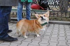Cão do Corgi na celebração do dia do ` s de St Patrick em Moscou Foto de Stock Royalty Free