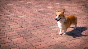 Cão do Corgi no assoalho do tijolo fotografia de stock