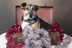 Cão do Corgi que senta-se dentro de uma mala de viagem entre o ouropel fotografia de stock royalty free