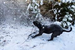 Cão do corso do bastão que puxa o ramo de árvore imagem de stock royalty free