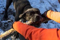 Cão do corso do bastão que puxa o ramo de árvore foto de stock