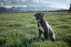 Cão do corso do bastão que senta-se na grama verde contra o contexto da paisagem da montanha do outono Altai fotografia de stock