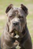 Cão do corso do bastão Imagem de Stock