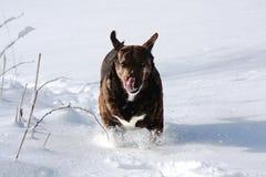 Cão do Cur da montanha imagens de stock royalty free