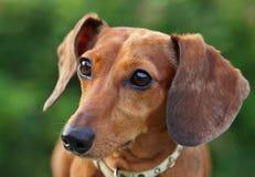 Cão do Dachshund foto de stock royalty free
