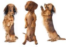 Cão do Dachshund foto de stock