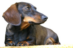 Cão do Dachshund Fotografia de Stock Royalty Free