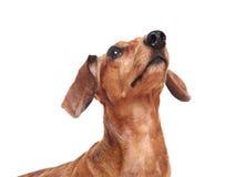 Cão do Dachshund que olha acima Imagem de Stock