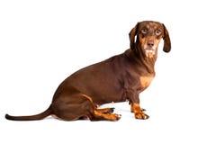 Cão do Dachshund que olha scared isolado foto de stock royalty free