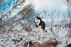 Cão do cão de puxar trenós Siberian imagens de stock royalty free