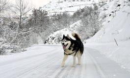 Cão do cão de puxar trenós Siberian fotos de stock