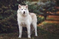 Cão do cão de puxar trenós Siberian na floresta Fotos de Stock Royalty Free