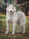 Cão do cão de puxar trenós Siberian na floresta Foto de Stock