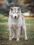 Cão do cão de puxar trenós Siberian na floresta Foto de Stock Royalty Free