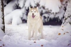 Cão do cão de puxar trenós Siberian na floresta da neve Fotografia de Stock Royalty Free