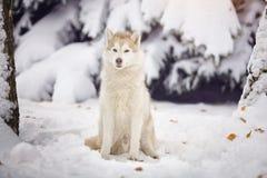 Cão do cão de puxar trenós Siberian na floresta da neve Imagem de Stock Royalty Free