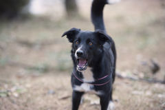 Cão do descascamento Imagem de Stock Royalty Free