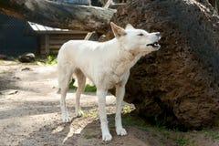 Cão do dingo imagem de stock royalty free