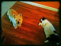 Cão do &a do gato Foto de Stock Royalty Free