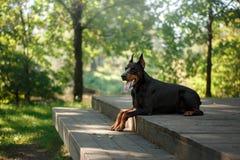 Cão do Doberman, animal de estimação bonito imagem de stock