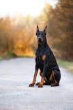 Cão do Doberman que levanta fora foto de stock